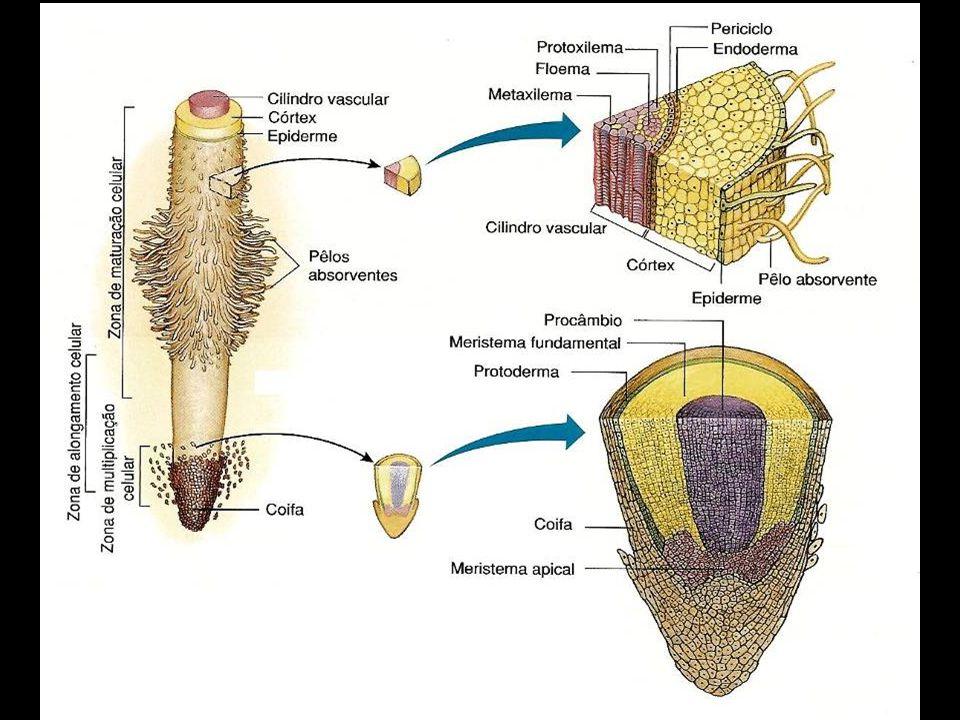 Meristemas secundários Com origem em células já diferenciadas que readquirem secundariamente a capacidade de divisão, são responsáveis pelo engrossame