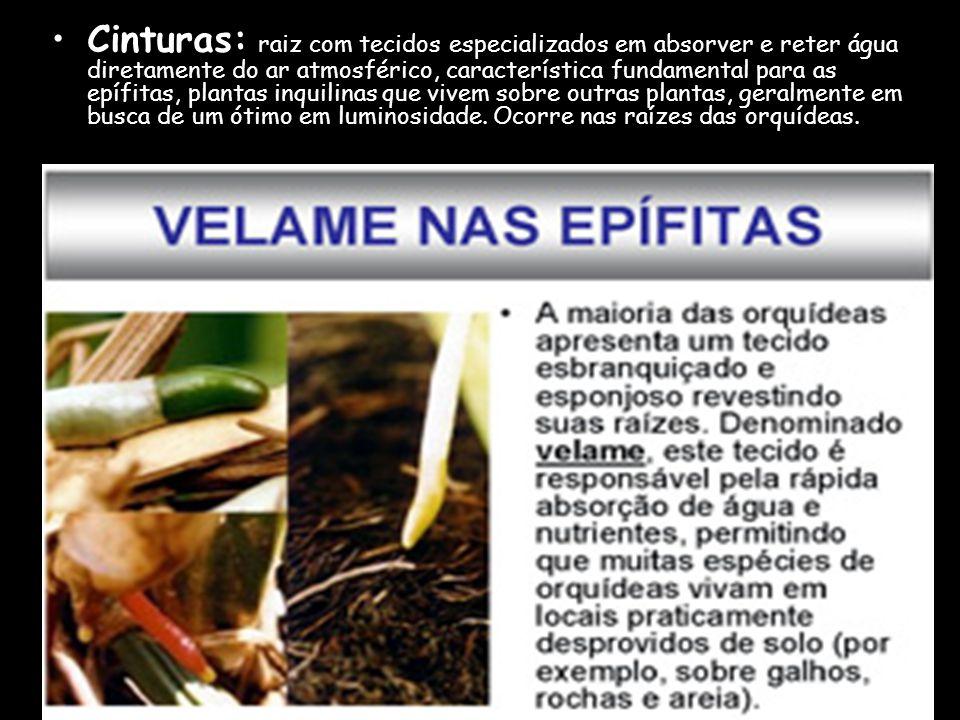 Suportes ou escora: P artem do caule e atingem o solo, e sua principal função é aumentar a fixação do vegetal. Ex.: milho.