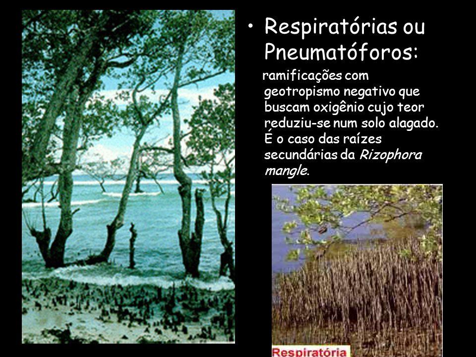 Tabulares : são achatadas, e encontradas em florestas densas, sendo responsáveis pela fixação, podendo também serem respiratórias. Ex.: figueiras.