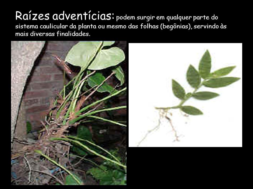 Origem das raízes A origem da raíz principal de um vegetal superior é uma pequena região do embrião contido na semente: a radícula As raízes laterais,