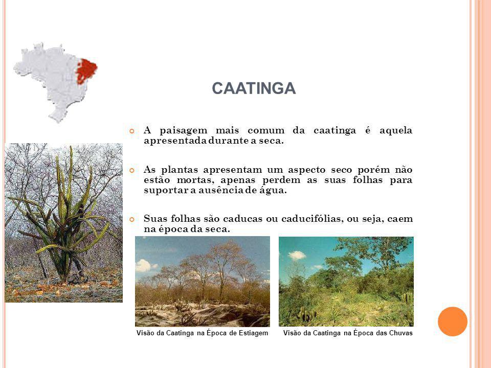 A paisagem mais comum da caatinga é aquela apresentada durante a seca. As plantas apresentam um aspecto seco porém não estão mortas, apenas perdem as