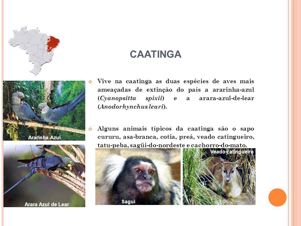 Vive na caatinga as duas espécies de aves mais ameaçadas de extinção do país a ararinha-azul ( Cyanopsitta spixii ) e a arara-azul-de-lear ( Anodorhynchus leari ).