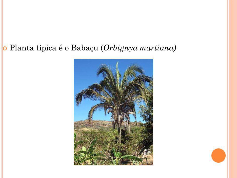 Planta típica é o Babaçu ( Orbignya martiana)