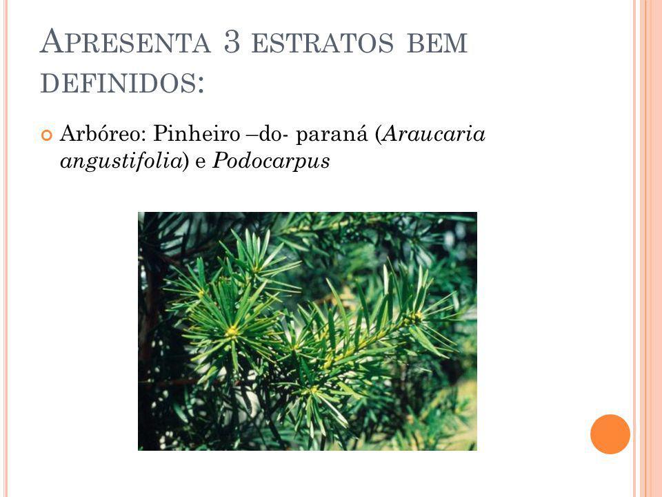 A PRESENTA 3 ESTRATOS BEM DEFINIDOS : Arbóreo: Pinheiro –do- paraná ( Araucaria angustifolia ) e Podocarpus