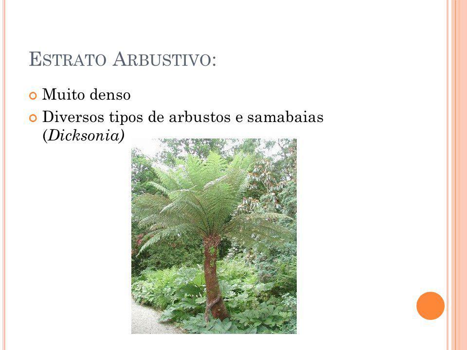 E STRATO A RBUSTIVO : Muito denso Diversos tipos de arbustos e samabaias ( Dicksonia)