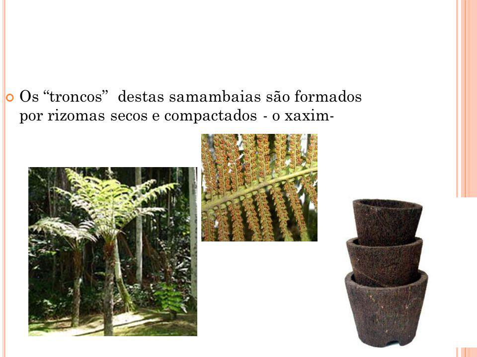 Os troncos destas samambaias são formados por rizomas secos e compactados - o xaxim-