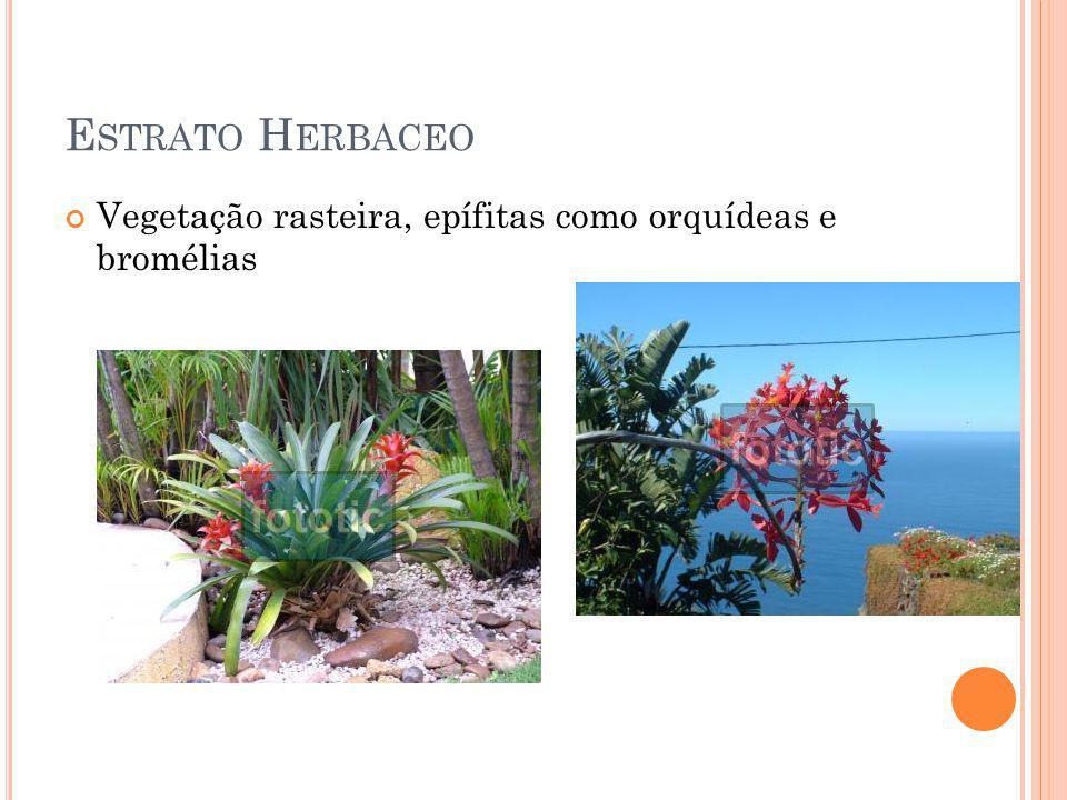 E STRATO H ERBACEO Vegetação rasteira, epífitas como orquídeas e bromélias