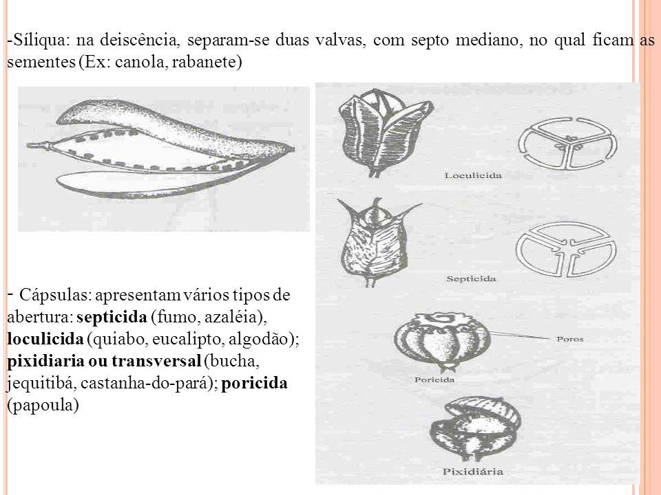 -Síliqua: na deiscência, separam-se duas valvas, com septo mediano, no qual ficam as sementes (Ex: canola, rabanete) - Cápsulas: apresentam vários tip