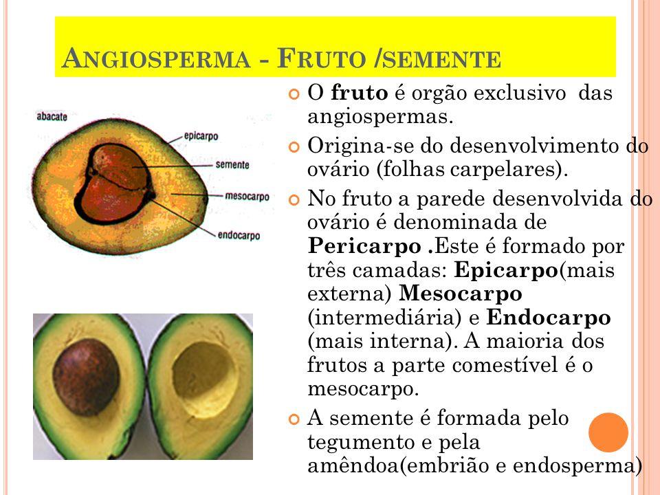 A NGIOSPERMA - F RUTO / SEMENTE O fruto é orgão exclusivo das angiospermas. Origina-se do desenvolvimento do ovário (folhas carpelares). No fruto a pa