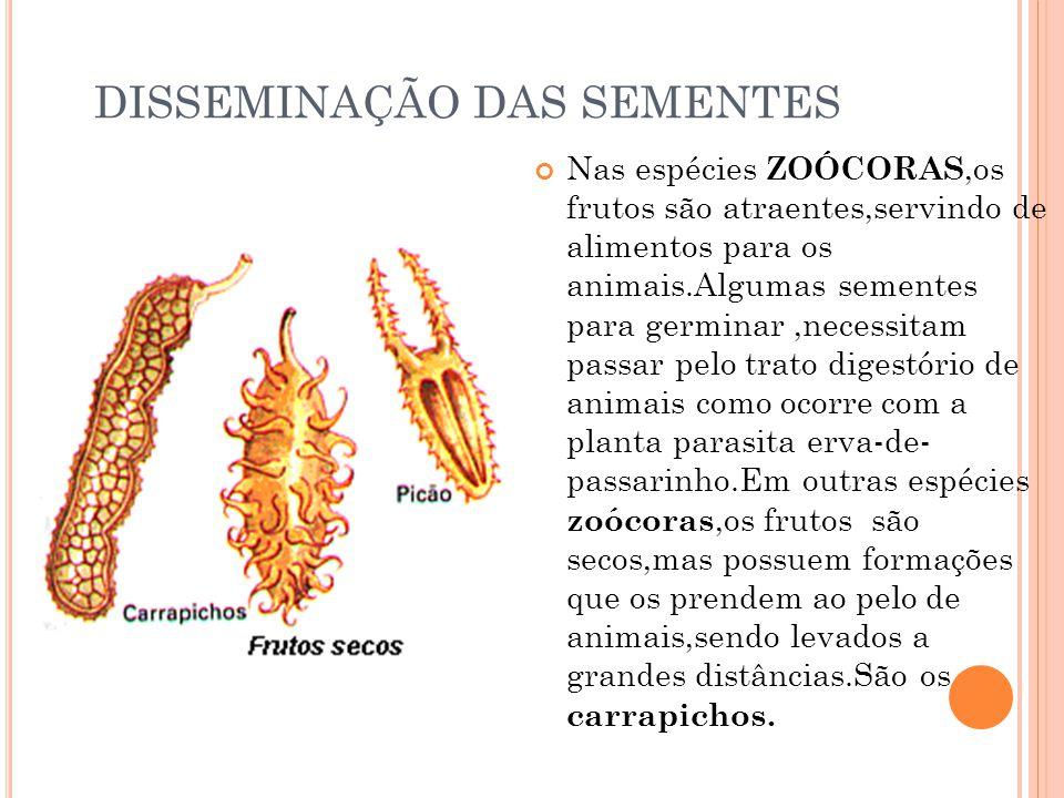 DISSEMINAÇÃO DAS SEMENTES Nas espécies ZOÓCORAS,os frutos são atraentes,servindo de alimentos para os animais.Algumas sementes para germinar,necessita