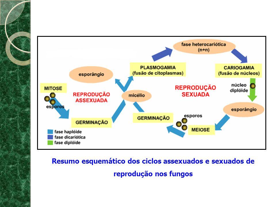 Resumo esquemático dos ciclos assexuados e sexuados de reprodução nos fungos