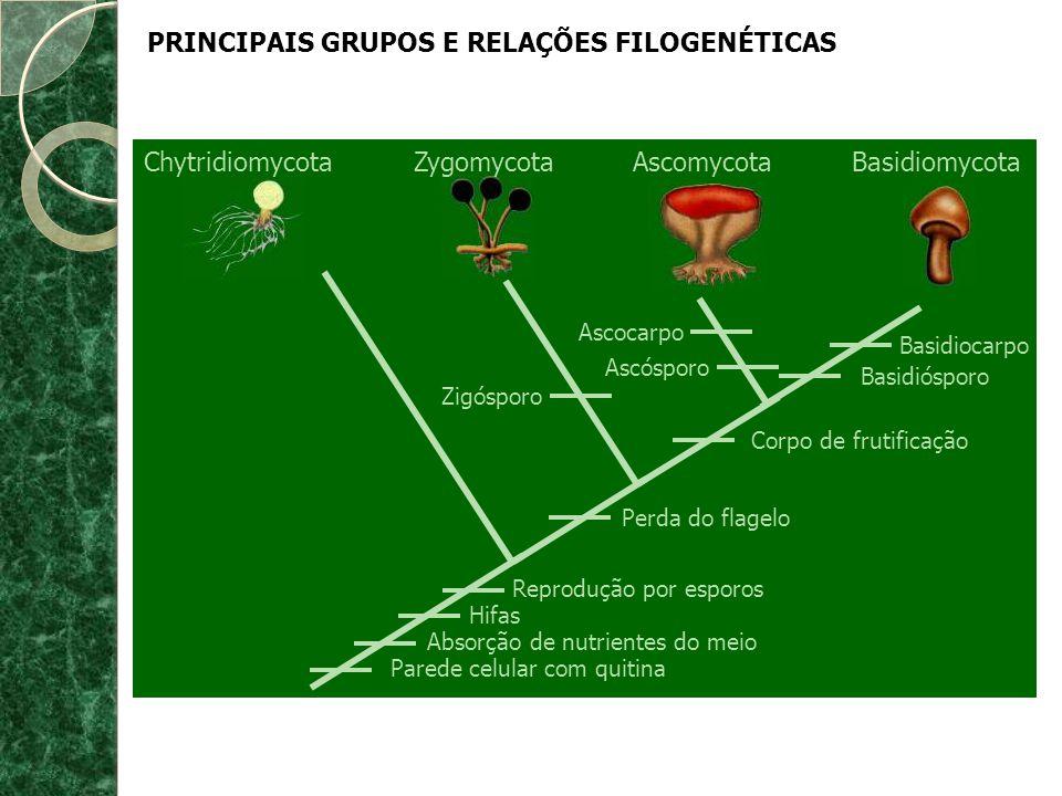 PRINCIPAIS GRUPOS E RELAÇÕES FILOGENÉTICAS ChytridiomycotaZygomycotaAscomycotaBasidiomycota Basidiocarpo Basidiósporo Ascocarpo Ascósporo Corpo de fru