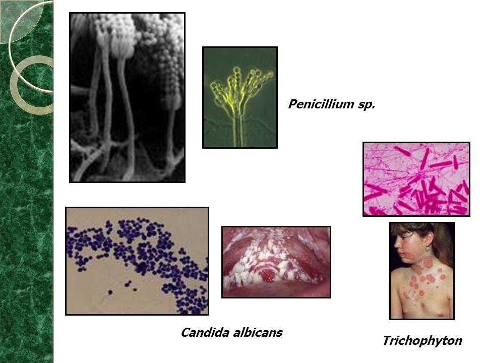 Penicillium sp. Candida albicans Trichophyton