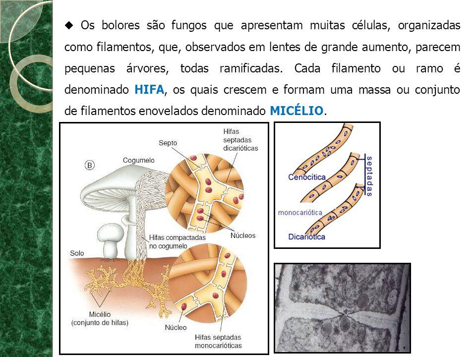 Os bolores são fungos que apresentam muitas células, organizadas como filamentos, que, observados em lentes de grande aumento, parecem pequenas árvore