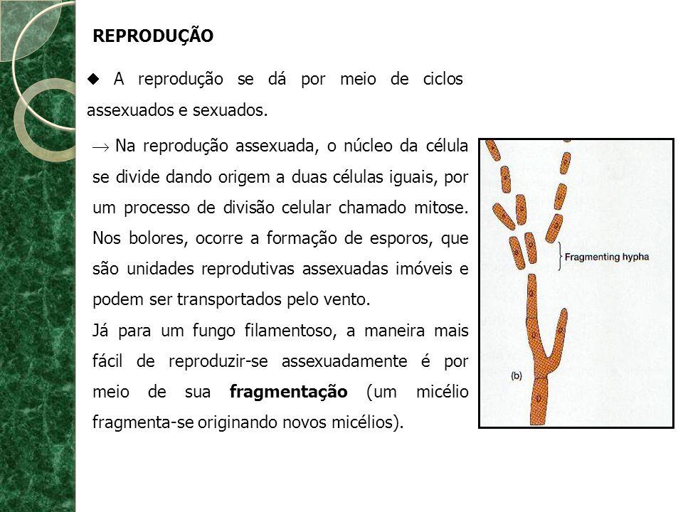 REPRODUÇÃO A reprodução se dá por meio de ciclos assexuados e sexuados. Na reprodução assexuada, o núcleo da célula se divide dando origem a duas célu
