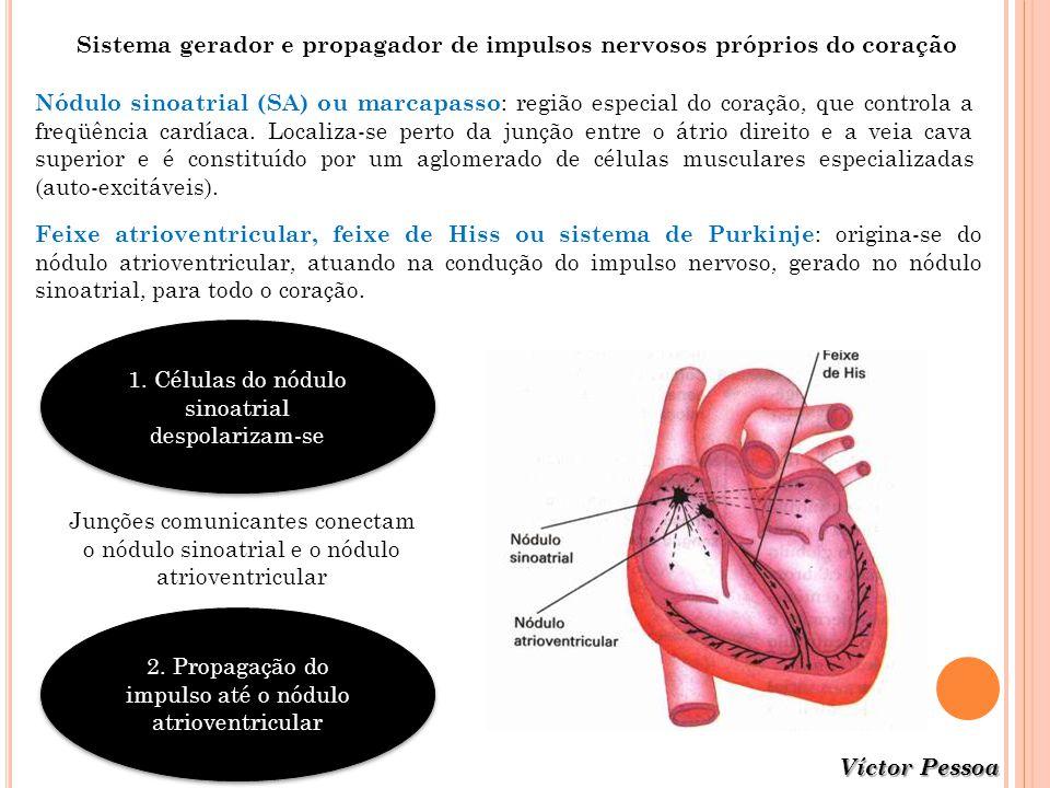 Nódulo sinoatrial (SA) ou marcapasso : região especial do coração, que controla a freqüência cardíaca. Localiza-se perto da junção entre o átrio direi