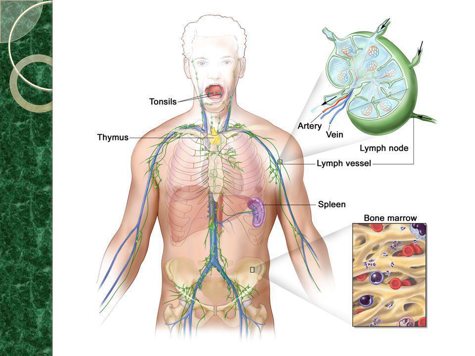 * São reconhecidas três grandes populações distintas de linfócitos: os linfócitos B (amadurecem na medula óssea / do inglês Bone marrow), os linfócitos T (amadurecem no timo / do inglês Thymus) e os linfócitos natural killers (NK), ou simplesmente matadores naturais.