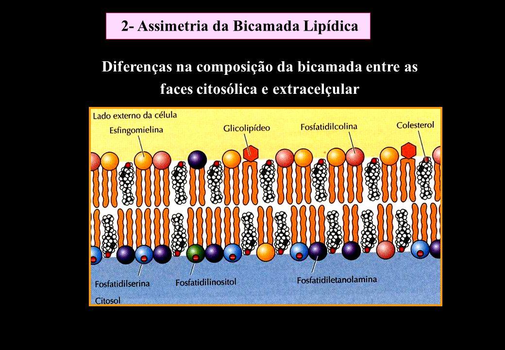 Diferenças na composição da bicamada entre as faces citosólica e extracelçular 2- Assimetria da Bicamada Lipídica