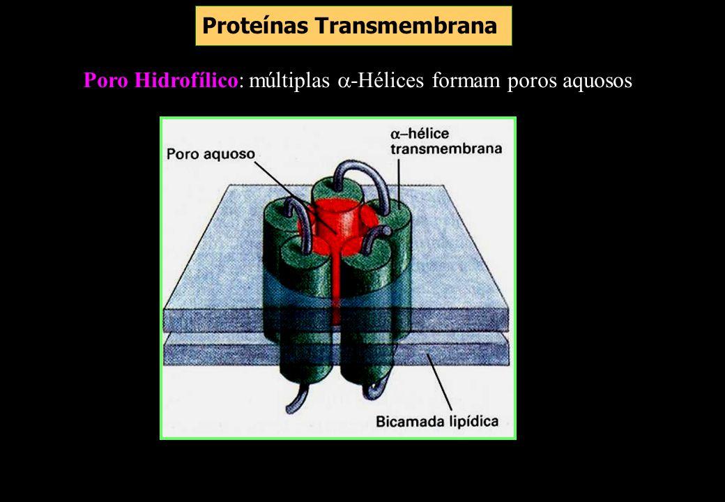 Poro Hidrofílico: múltiplas -Hélices formam poros aquosos Proteínas Transmembrana