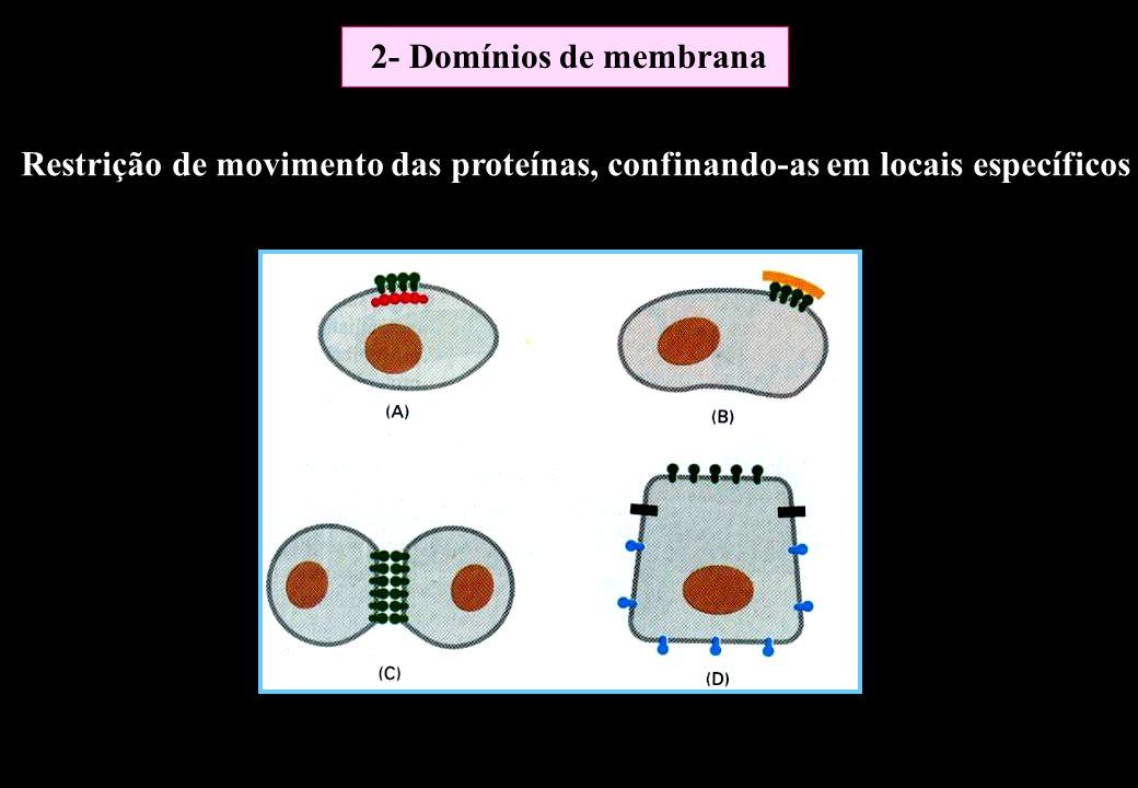 Restrição de movimento das proteínas, confinando-as em locais específicos 2- Domínios de membrana