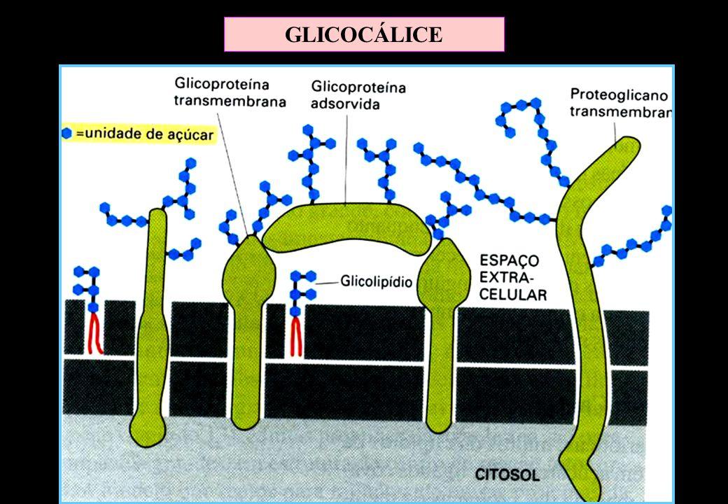 GLICOCÁLICE