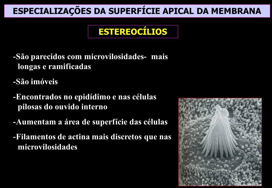 ESPECIALIZAÇÕES DA SUPERFÍCIE APICAL DA MEMBRANA ESTEREOCÍLIOS -São parecidos com microvilosidades- mais longas e ramificadas -São imóveis -Encontrado