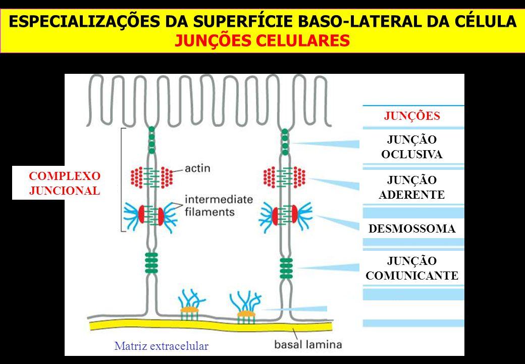 ESPECIALIZAÇÕES DA SUPERFÍCIE BASO-LATERAL DA CÉLULA JUNÇÕES CELULARES JUNÇÃO OCLUSIVA JUNÇÕES JUNÇÃO ADERENTE DESMOSSOMA JUNÇÃO COMUNICANTE COMPLEXO