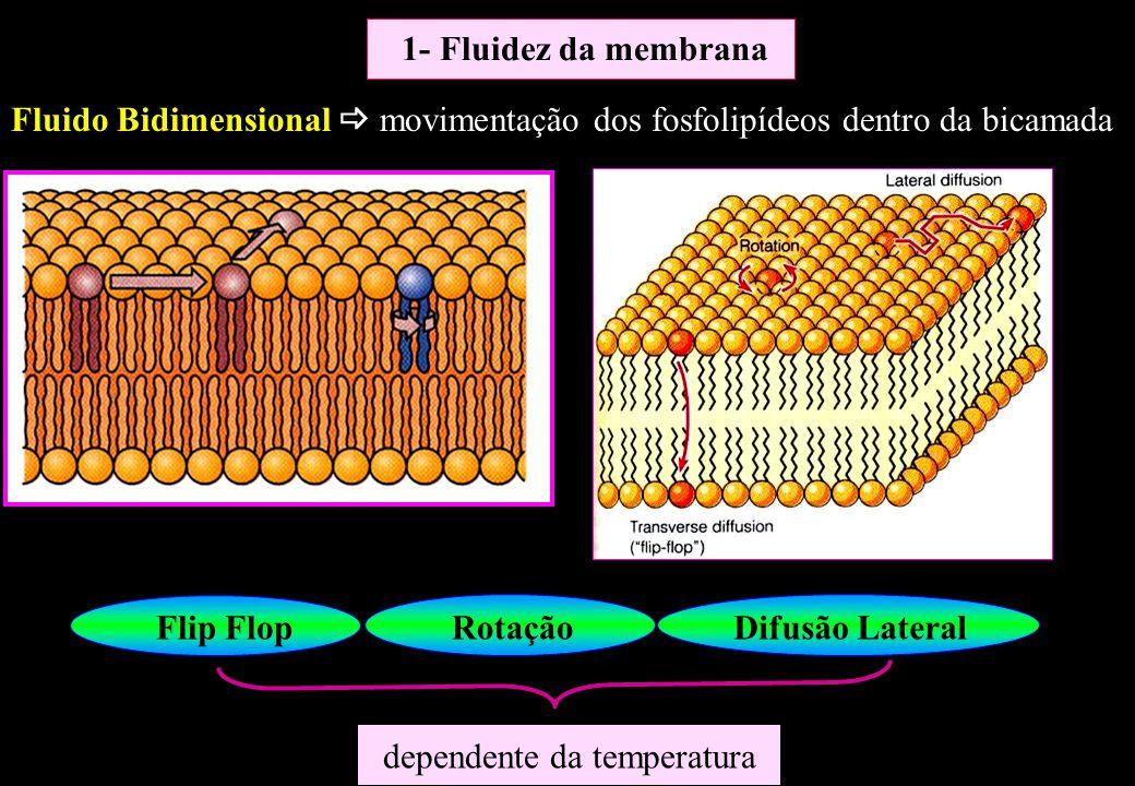 Composição Fosfolipídica Natureza das caudas de hidrocarbonetos Caudas curtas (maior fluidez) que caudas longas Insaturação (maior fluidez) que saturação INSATURADOS - viscosa + fluida SATURADOS + viscosa - fluida 1- Fluidez da membrana