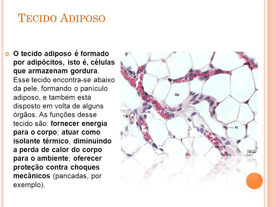 T ECIDO A DIPOSO O tecido adiposo é formado por adipócitos, isto é, células que armazenam gordura. Esse tecido encontra-se abaixo da pele, formando o