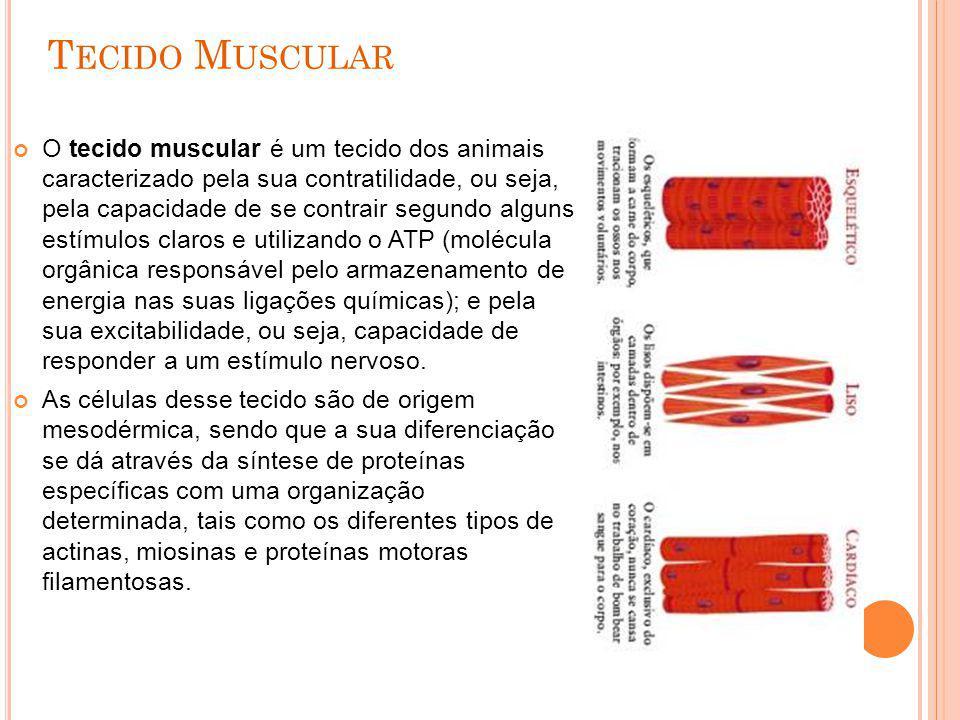 T ECIDO M USCULAR O tecido muscular é um tecido dos animais caracterizado pela sua contratilidade, ou seja, pela capacidade de se contrair segundo alg