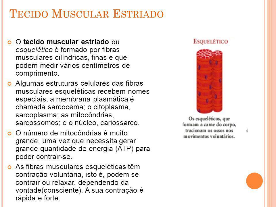 T ECIDO M USCULAR E STRIADO O tecido muscular estriado ou esquelético é formado por fibras musculares cilíndricas, finas e que podem medir vários cent