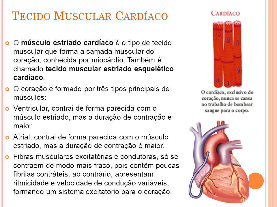 T ECIDO M USCULAR C ARDÍACO O músculo estriado cardíaco é o tipo de tecido muscular que forma a camada muscular do coração, conhecida por miocárdio. T