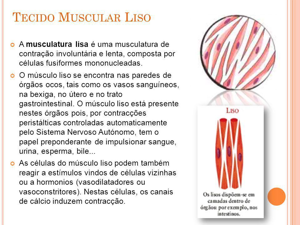 T ECIDO M USCULAR L ISO A musculatura lisa é uma musculatura de contração involuntária e lenta, composta por células fusiformes mononucleadas. O múscu