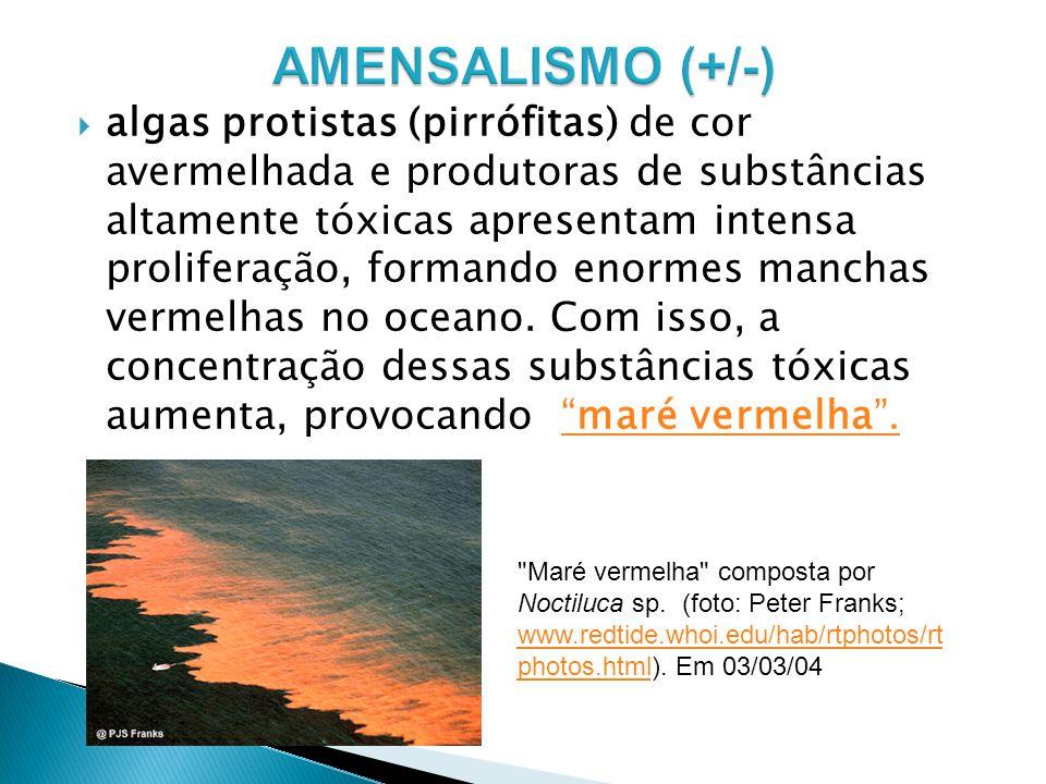 maré vermelha. algas protistas (pirrófitas) de cor avermelhada e produtoras de substâncias altamente tóxicas apresentam intensa proliferação, formando
