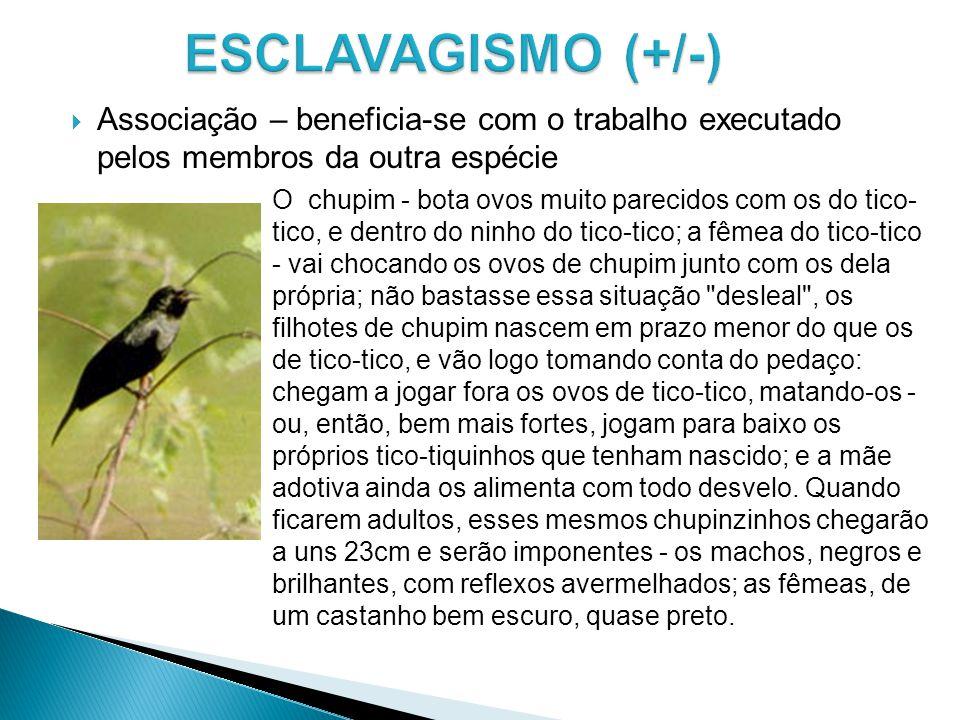 Associação – beneficia-se com o trabalho executado pelos membros da outra espécie O chupim - bota ovos muito parecidos com os do tico- tico, e dentro