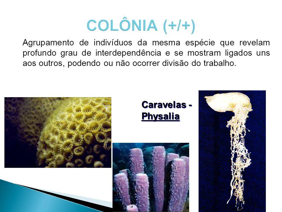 Caravelas - Physalia Agrupamento de indivíduos da mesma espécie que revelam profundo grau de interdependência e se mostram ligados uns aos outros, pod