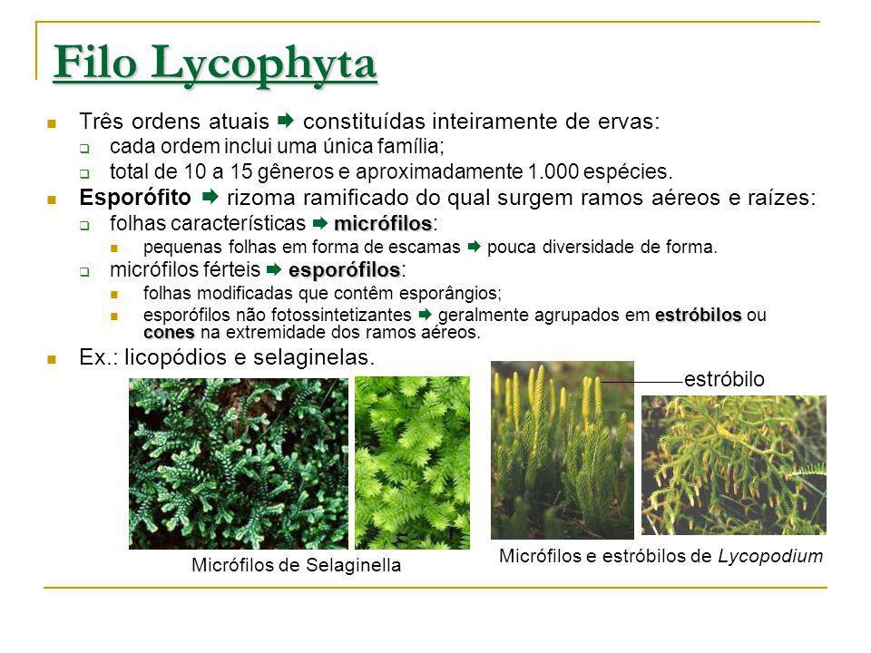 Filo Lycophyta Três ordens atuais constituídas inteiramente de ervas: cada ordem inclui uma única família; total de 10 a 15 gêneros e aproximadamente 1.000 espécies.