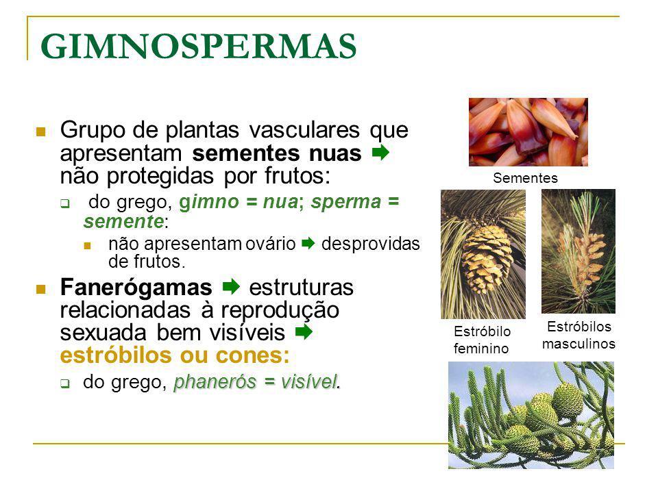 Grupo de plantas vasculares que apresentam sementes nuas não protegidas por frutos: do grego, gimno = nua; sperma = semente: não apresentam ovário desprovidas de frutos.