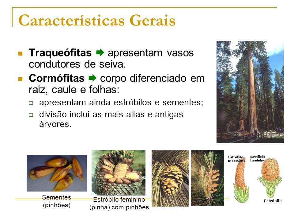Características Gerais Traqueófitas apresentam vasos condutores de seiva.