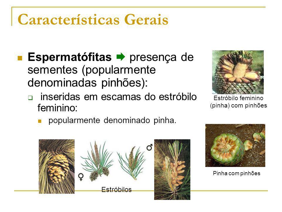 Características Gerais Estróbilo feminino (pinha) com pinhões Estróbilos Pinha com pinhões Espermatófitas presença de sementes (popularmente denominadas pinhões): inseridas em escamas do estróbilo feminino: popularmente denominado pinha.