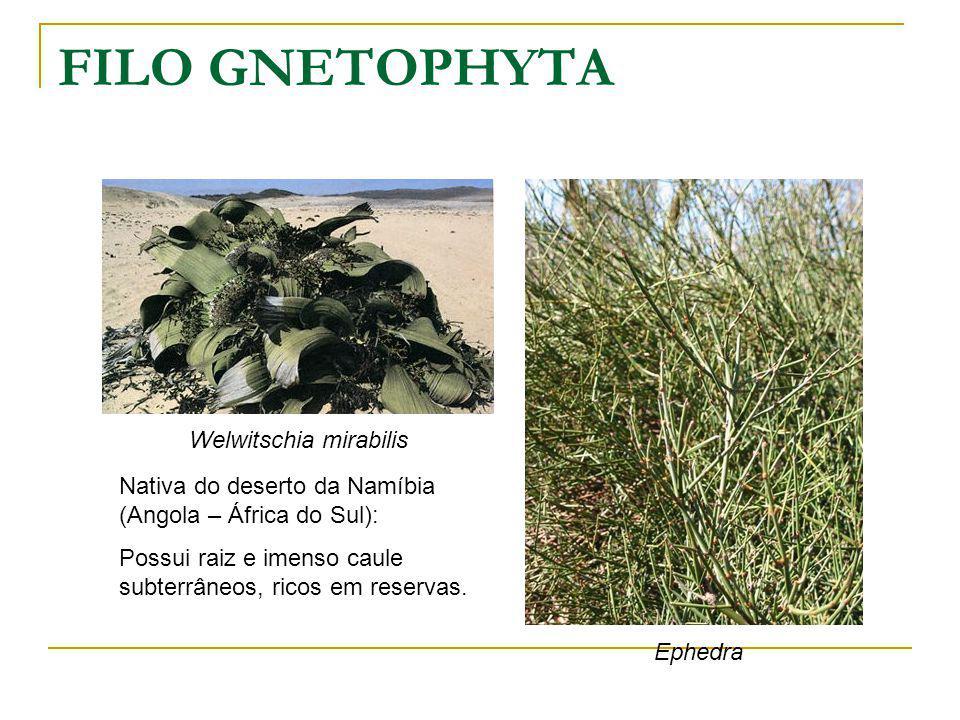 FILO GNETOPHYTA Ephedra Welwitschia mirabilis Nativa do deserto da Namíbia (Angola – África do Sul): Possui raiz e imenso caule subterrâneos, ricos em reservas.