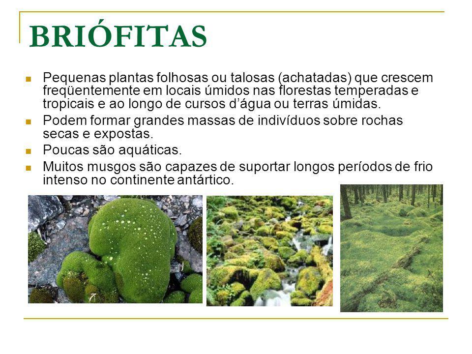 BRIÓFITAS Pequenas plantas folhosas ou talosas (achatadas) que crescem freqüentemente em locais úmidos nas florestas temperadas e tropicais e ao longo de cursos dágua ou terras úmidas.