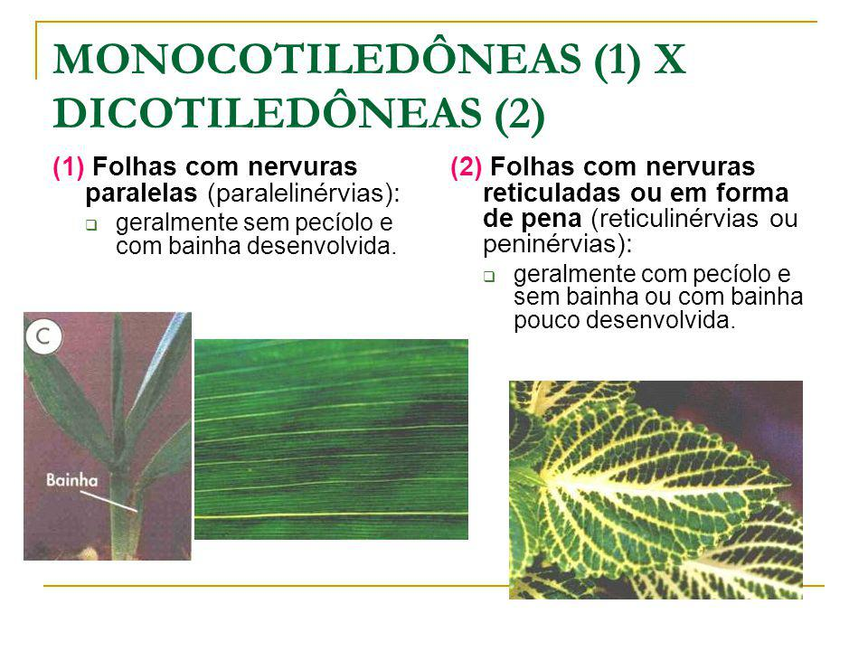 MONOCOTILEDÔNEAS (1) X DICOTILEDÔNEAS (2) (1) Folhas com nervuras paralelas (paralelinérvias): geralmente sem pecíolo e com bainha desenvolvida.