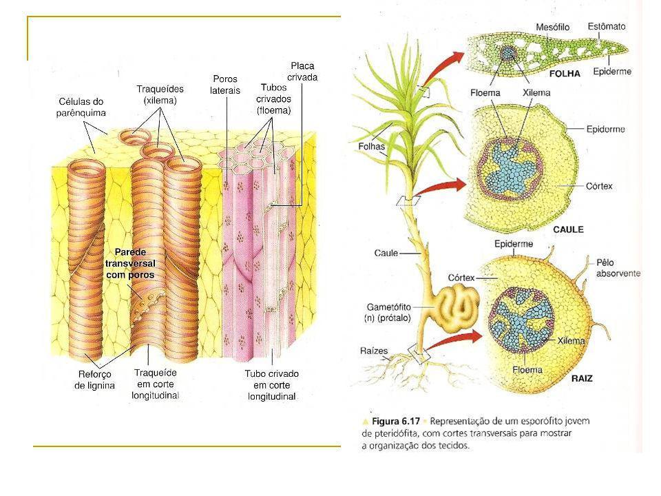 Importância das sementes Um dos principais fatores responsáveis pela dominância das plantas espermatófitas na flora atual: grande valor de sobrevivência: confere proteção e nutrição ao embrião: alimento armazenado nos estágios críticos da germinação grande vantagem seletiva.