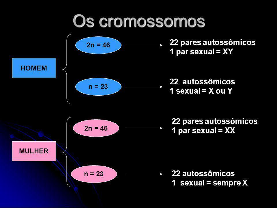 Os cromossomos HOMEM 2n = 46 n = 23 22 pares autossômicos 1 par sexual = XY 22 autossômicos 1 sexual = X ou Y MULHER 2n = 46 n = 23 22 pares autossômi