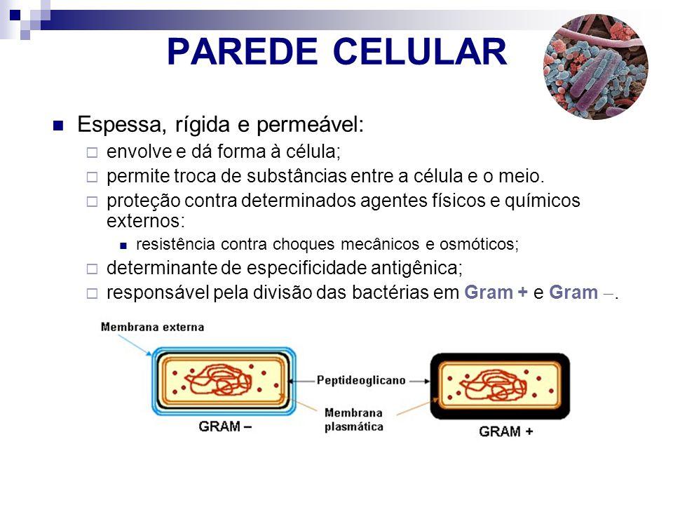 PAREDE CELULAR Espessa, rígida e permeável: envolve e dá forma à célula; permite troca de substâncias entre a célula e o meio. proteção contra determi