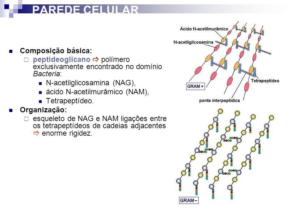 PAREDE CELULAR Composição básica: peptideoglicano polímero exclusivamente encontrado no domínio Bacteria: N-acetilglicosamina (NAG), ácido N-acetilmur