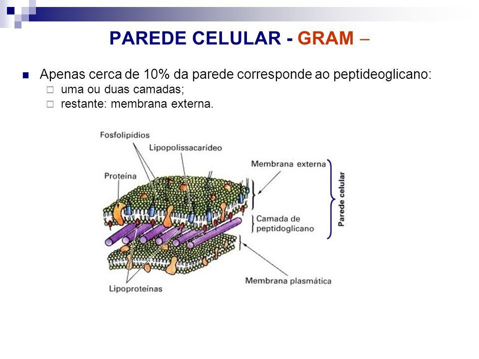 PAREDE CELULAR - GRAM Apenas cerca de 10% da parede corresponde ao peptideoglicano: uma ou duas camadas; restante: membrana externa.