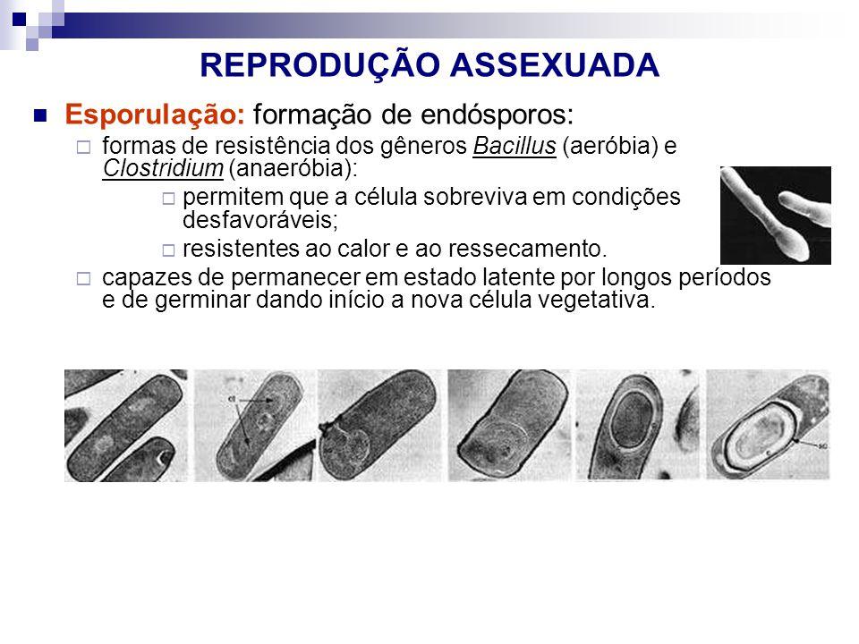 REPRODUÇÃO ASSEXUADA Esporulação: formação de endósporos: formas de resistência dos gêneros Bacillus (aeróbia) e Clostridium (anaeróbia): permitem que