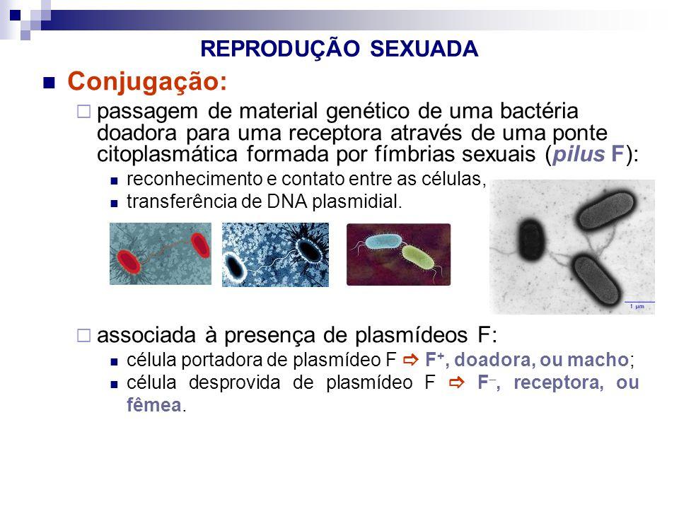 REPRODUÇÃO SEXUADA Conjugação: passagem de material genético de uma bactéria doadora para uma receptora através de uma ponte citoplasmática formada po